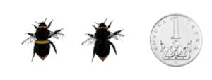 Čmelák luční - Bombus pratorum