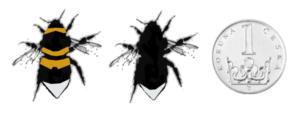 Čmelák zahradní - Bombus hortorum