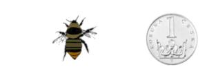 Čmelák rokytový - Bombus hypnorum